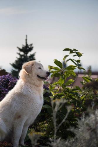 Abruzsko Maremmánský pastevecký pes